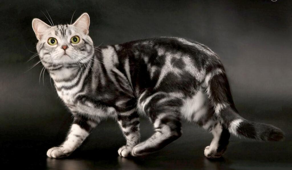 Американская короткошерстная кошка фото описание породы
