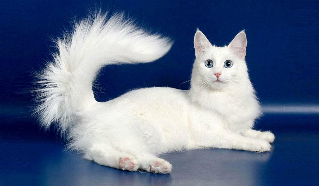 Ангорская кошка фото белая