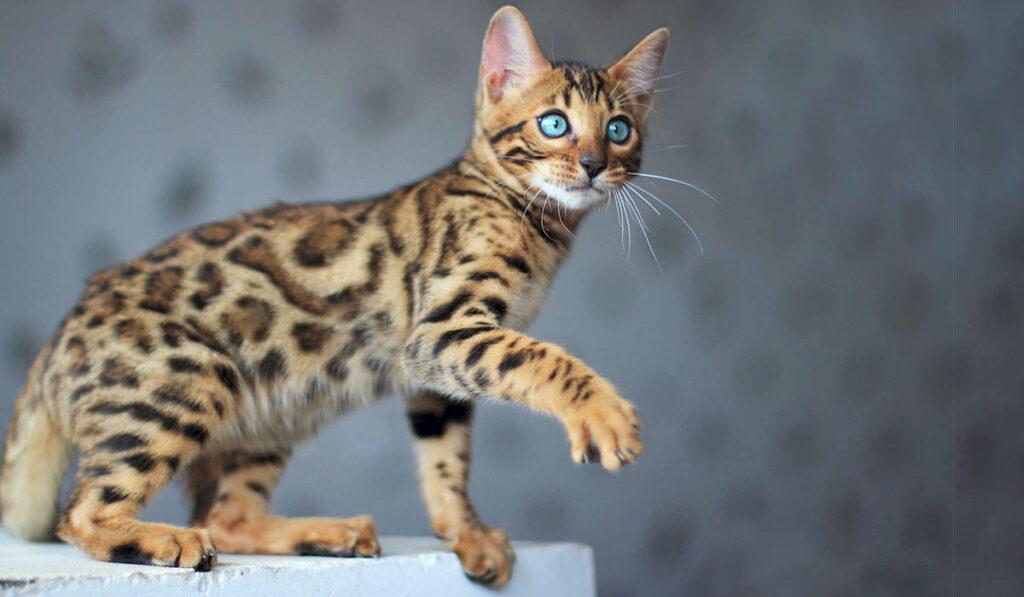 Бенгальская порода кошек описание фото