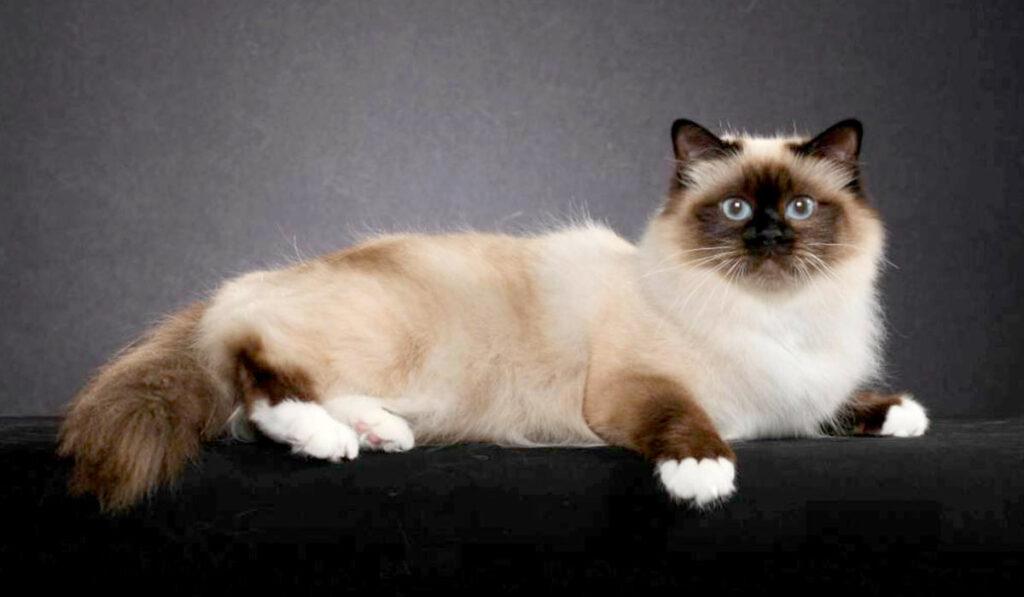 Бирманская кошка фото шоколадного цвета