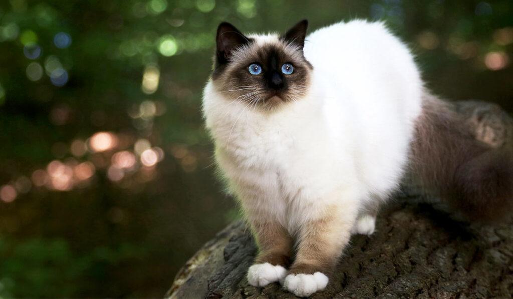 Бирманская кошка описание породы фото