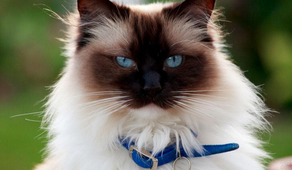 Бирманская порода кошек фото характер кошки