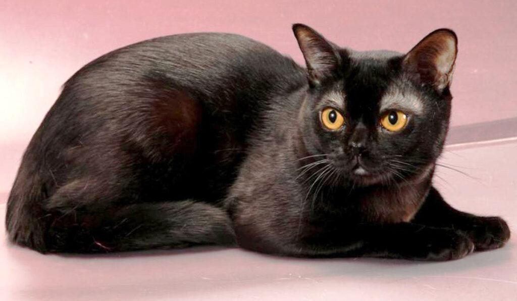 Бомбейская порода кошек фото