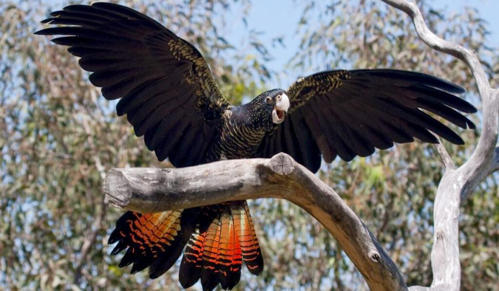 Черный какаду фото