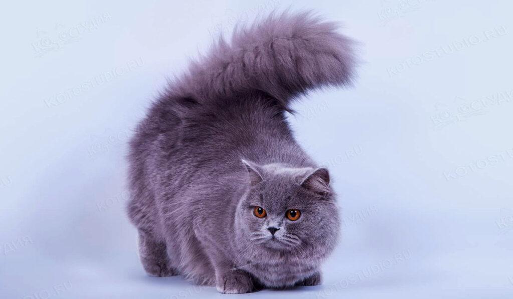 Длинношерстная британская кошка фото