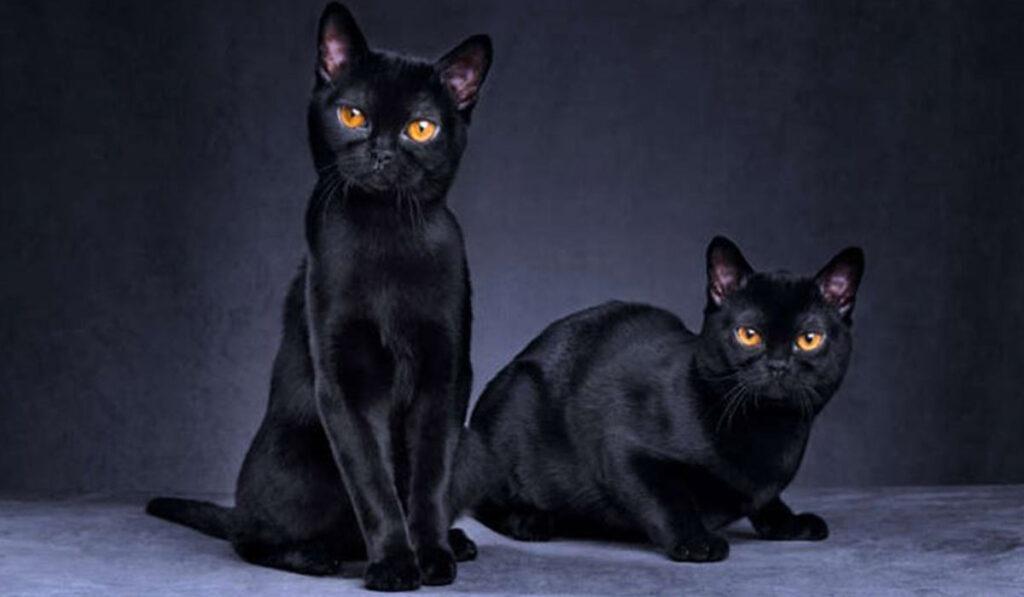 Фото черной бомбейской кошки