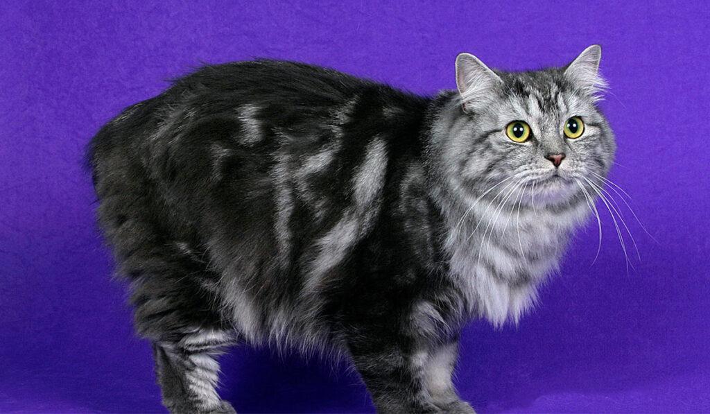 Кимрик кошка фото