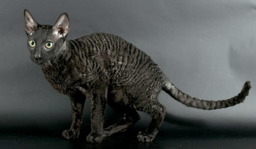 Корниш-рекс фото кошки
