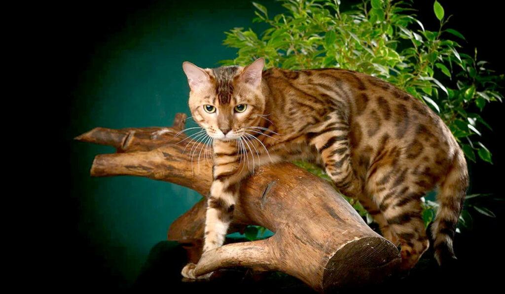 Кошка бенгальской породы характер фото