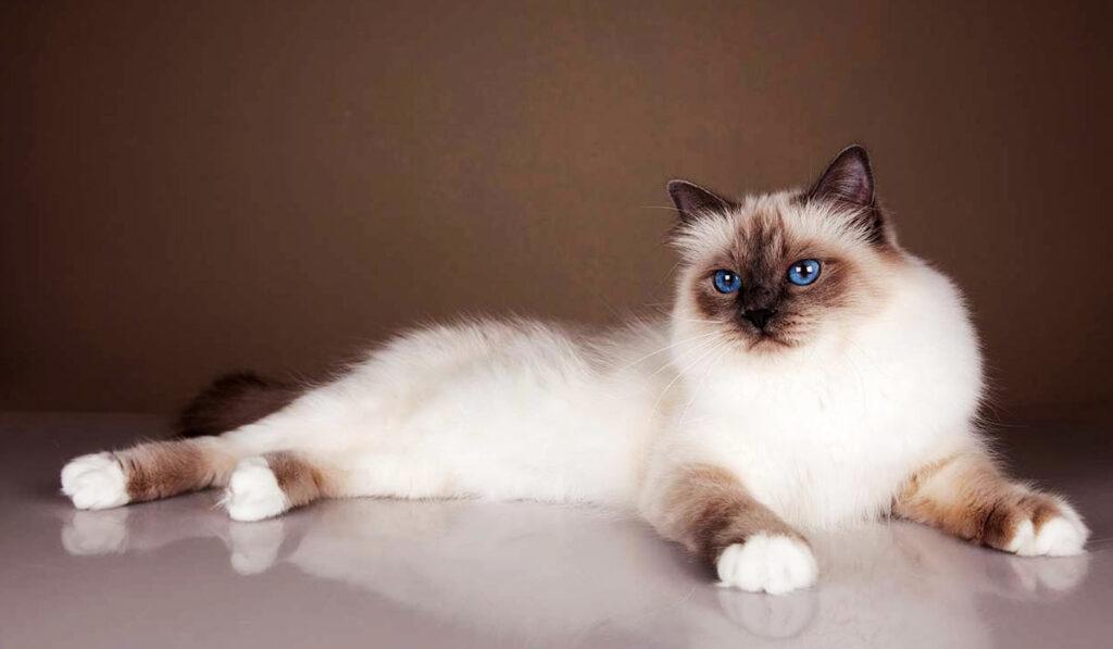 Кошка бирманской породы фото