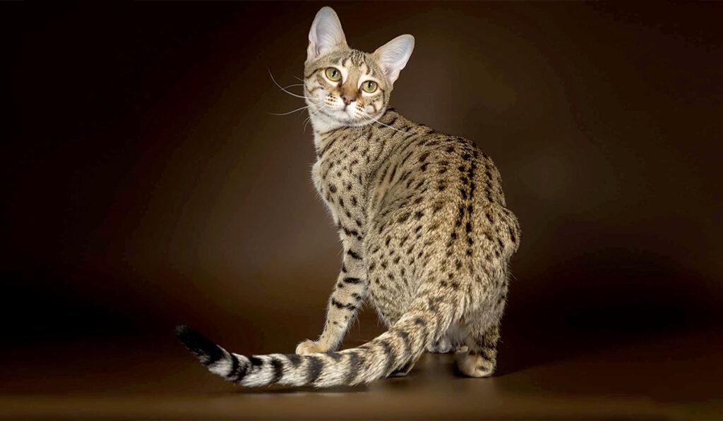 Кошка саванна фото описание
