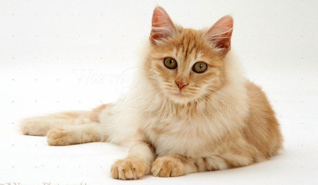 Кремовая ангорская кошка фото