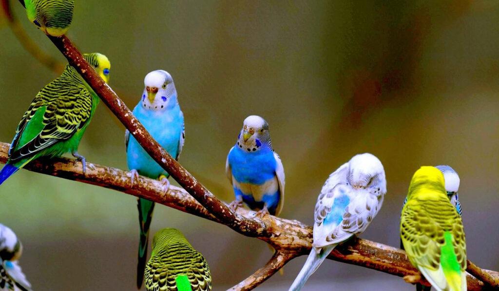 Окрасы волнистых попугаев фото