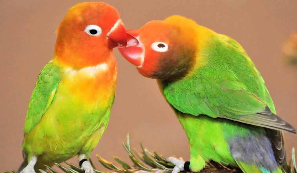 Попугаи-неразлучники фото