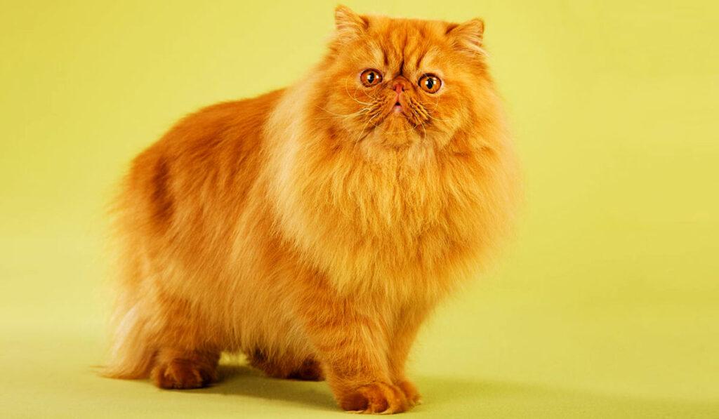 Персидская порода кошек фото