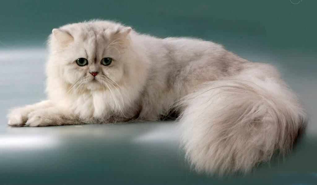 Персидская шиншилла кошка фото