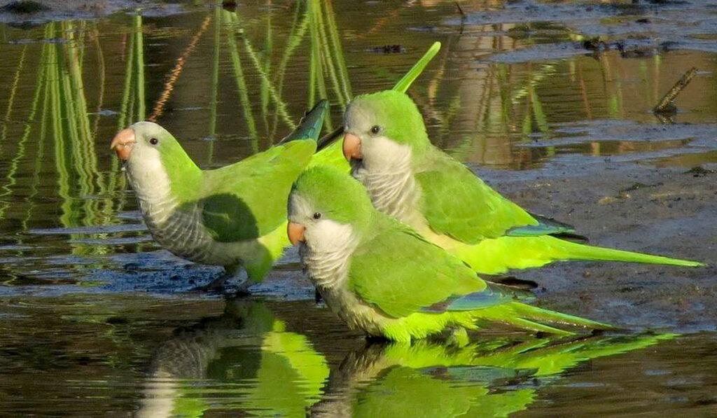 Попугаи квакеры фото