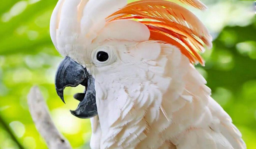 Попугай какаду фото