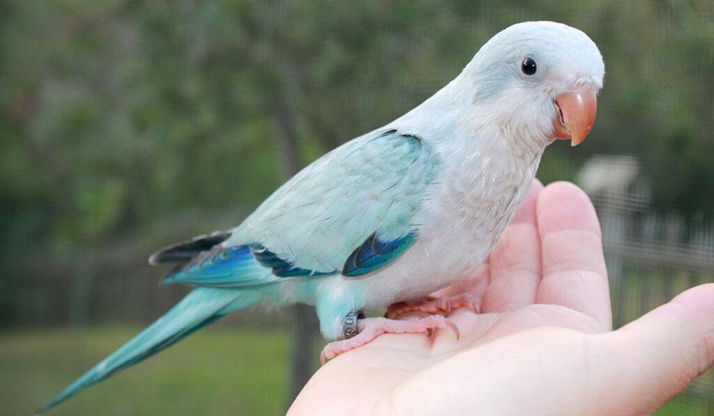 Попугай калита фото