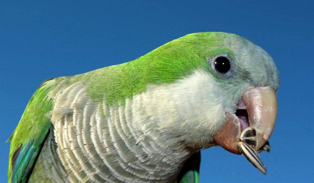 Попугай квакер фото