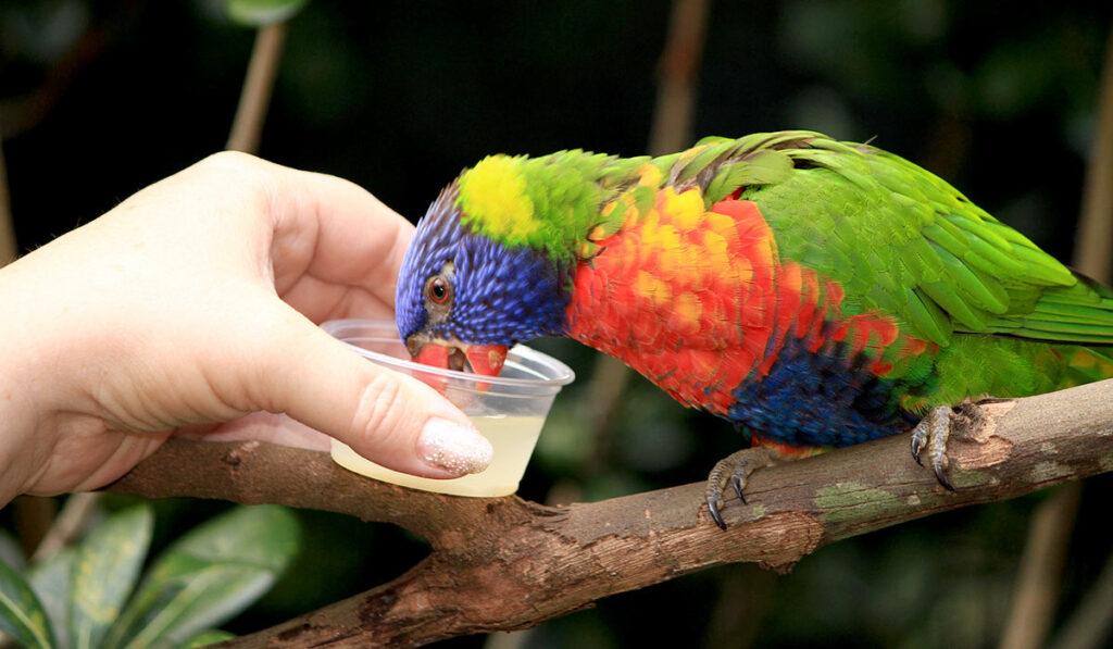 Попугай лори фото