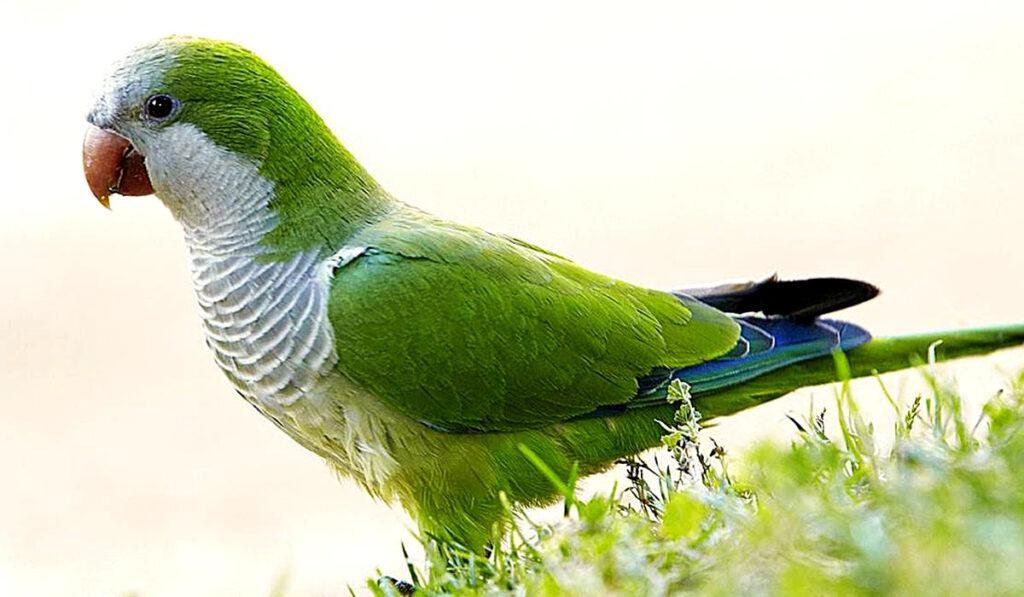Попугай монах фото