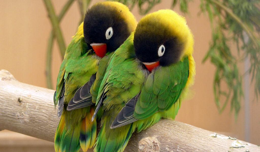 Пара попугаев-неразлучников фото