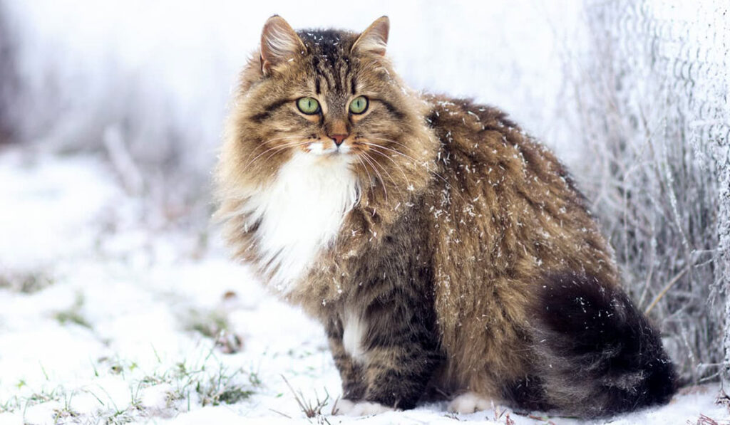 Порода кошек сибирская фото