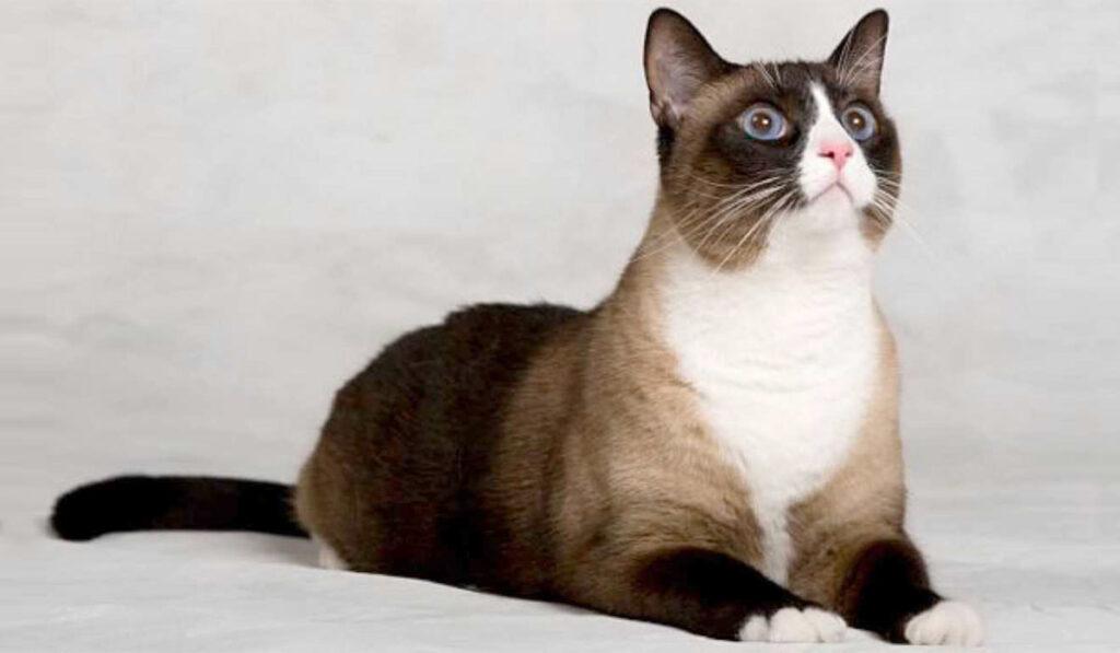 Порода кошек сноу шу фото