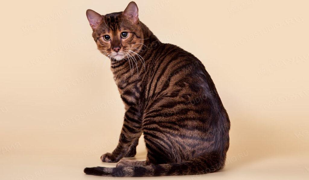 Порода кошек тойгер фото