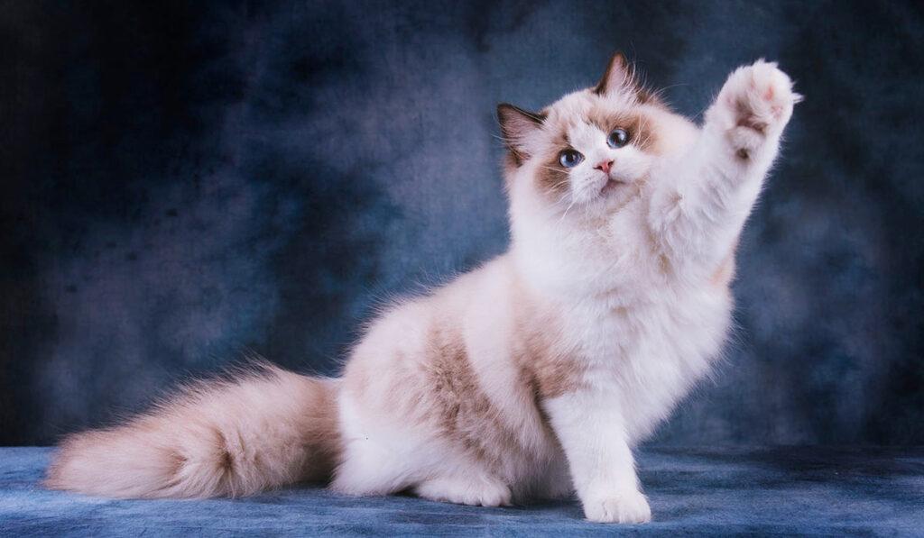 Рэгдолл кошка фото