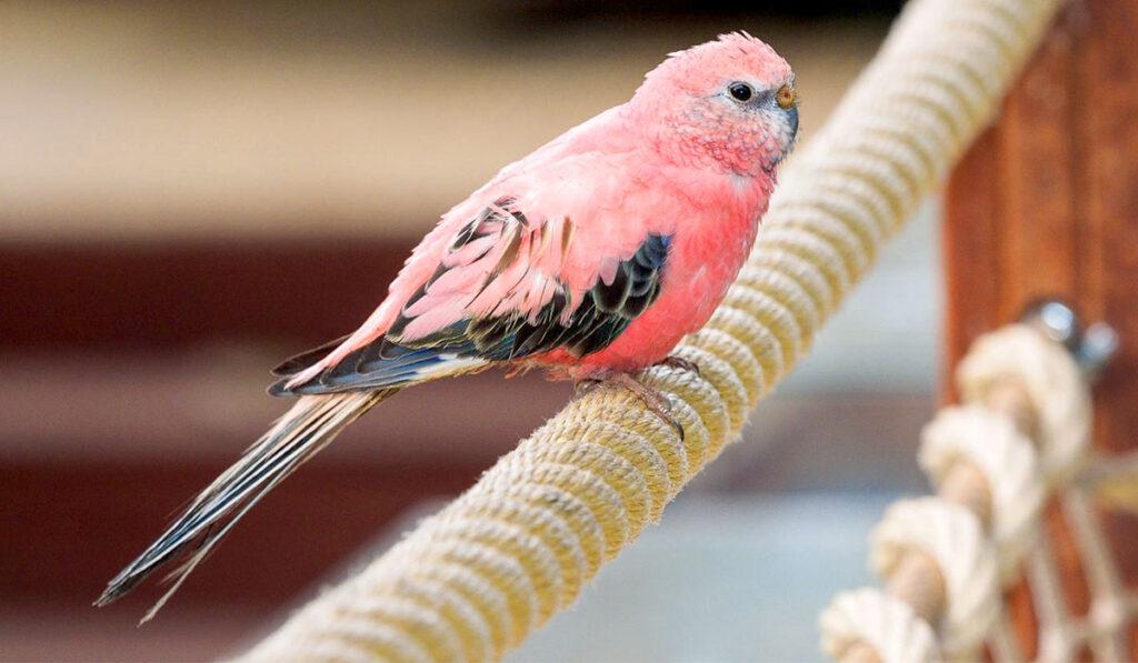 Розовый волнистый попугай фото