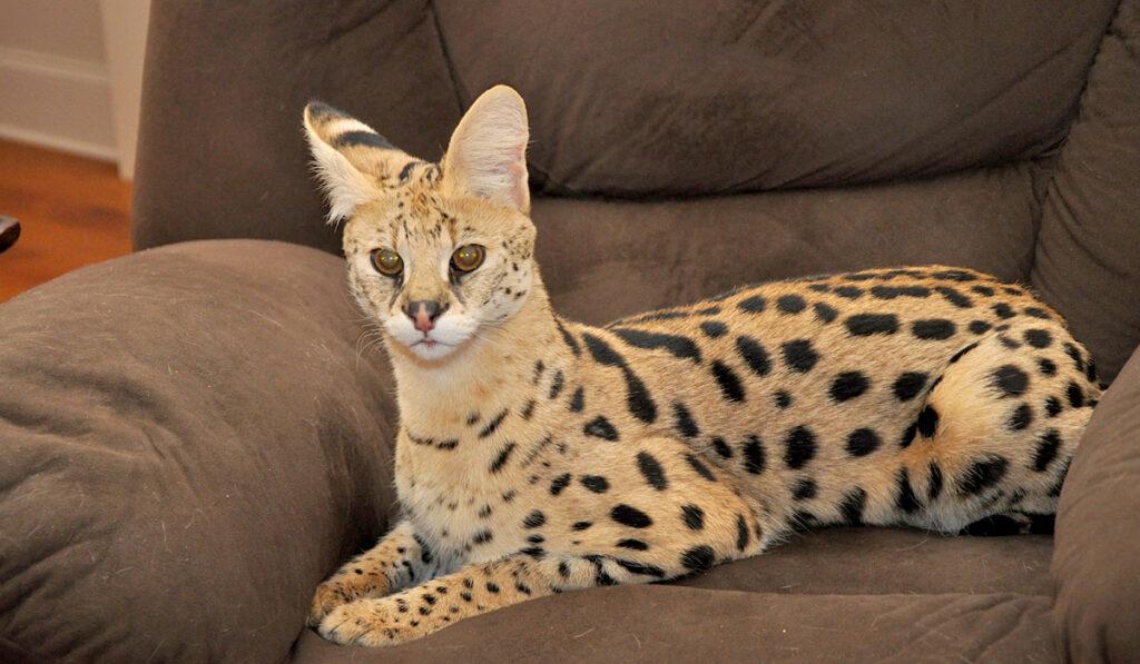 Саванна кошка f1 фото