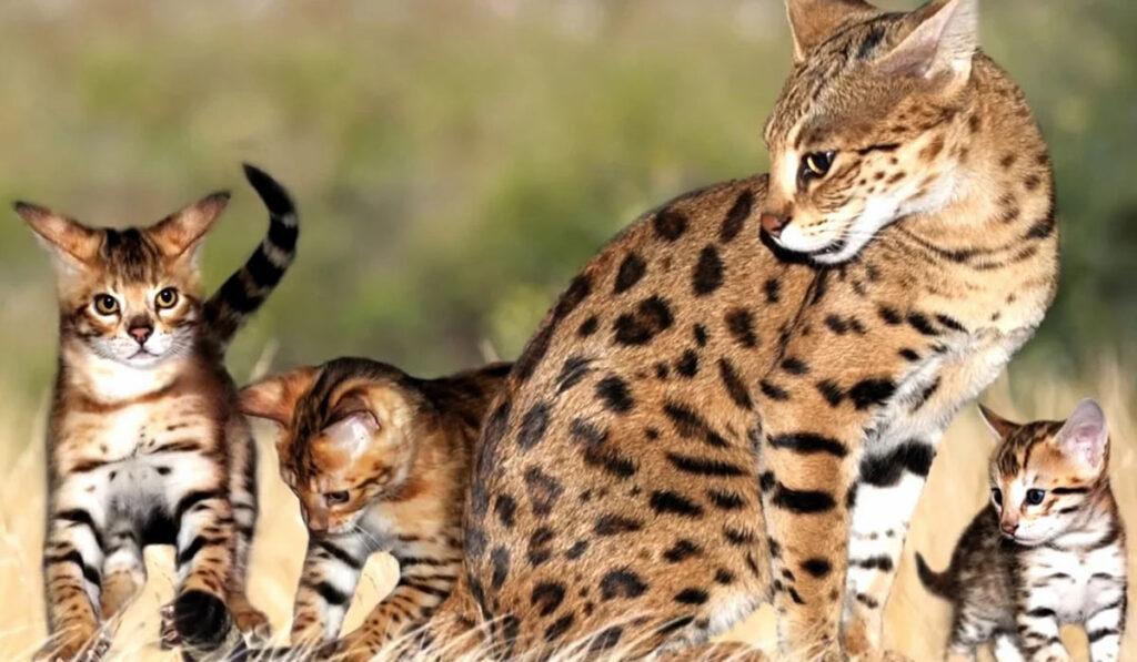 Саванна кошка фото описание породы