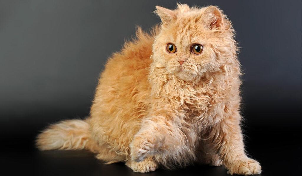 Селкирк рекс кошка фото