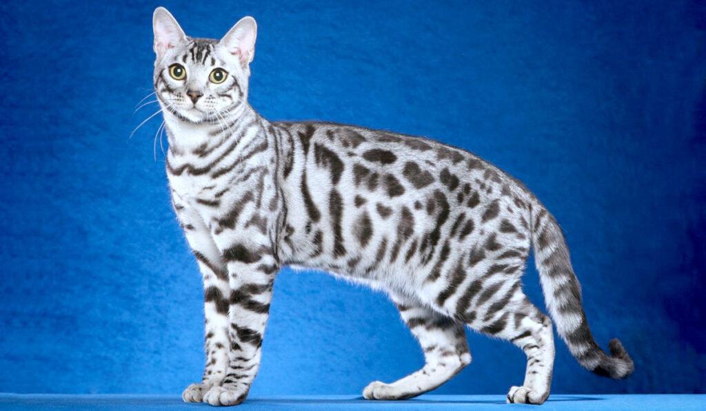 Серебристая бенгальская кошка фото