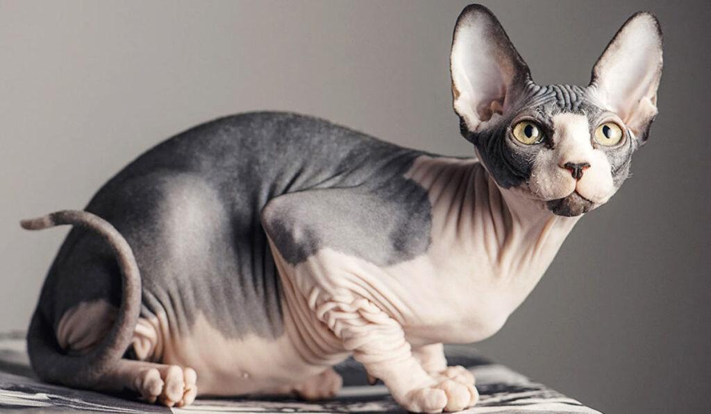 Сфинкс кошка фото