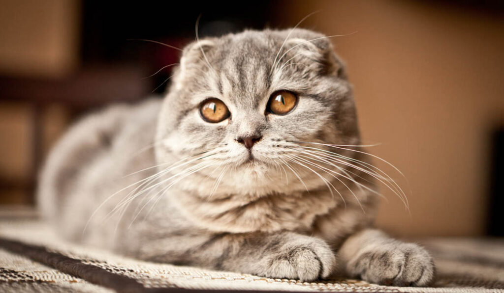Шотландская кошка фото