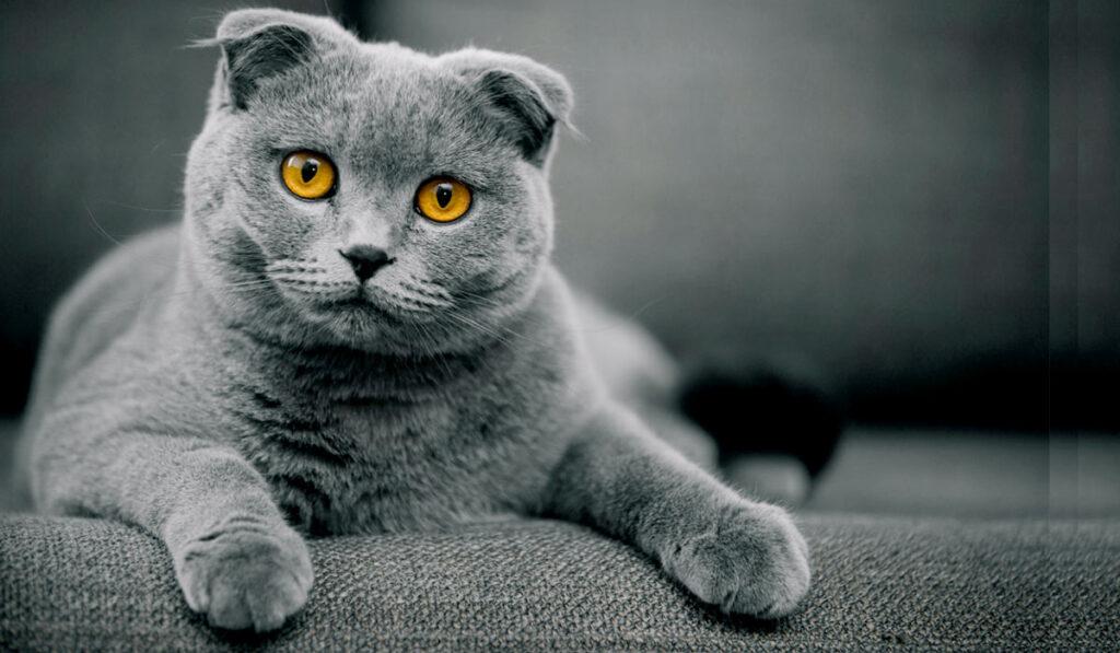 Шотландская порода кошек фото