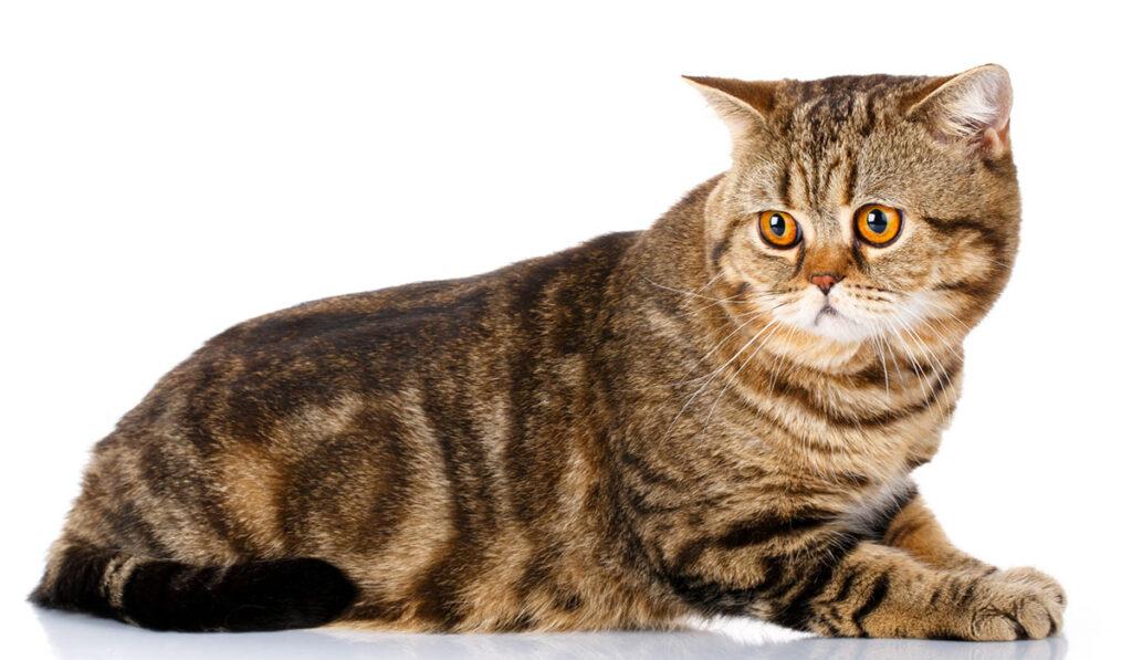 Шотландская прямоухая кошка фото