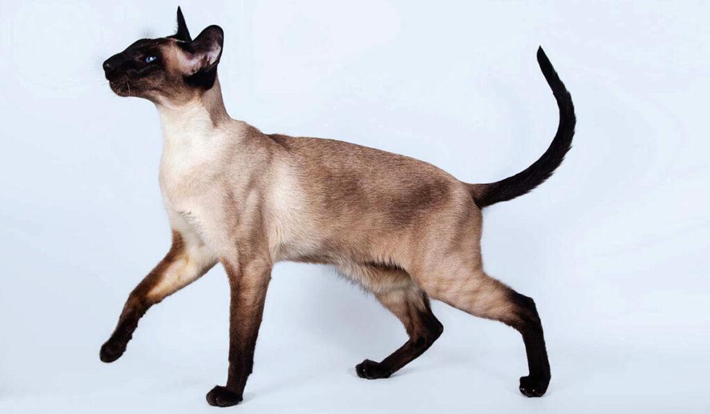 Сиамская кошка фото описание
