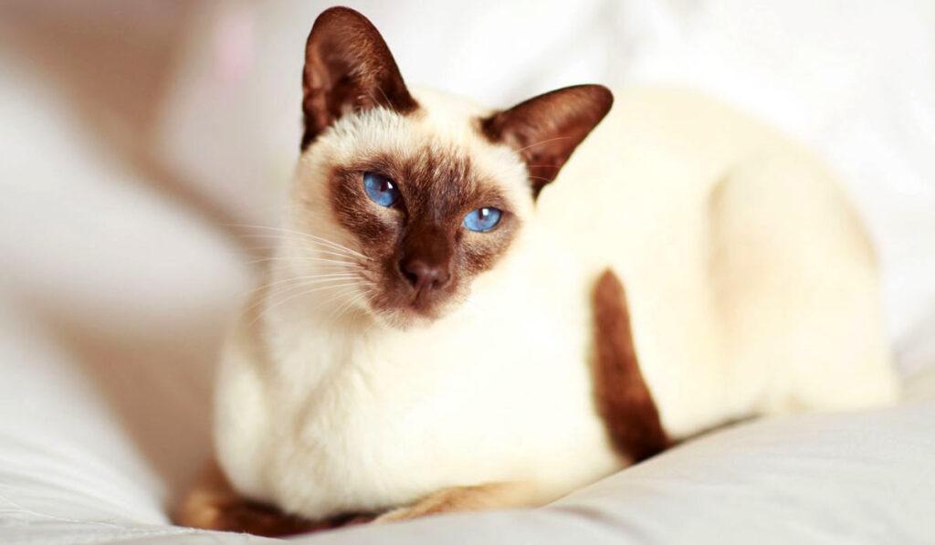 Сиамская порода кошек фото