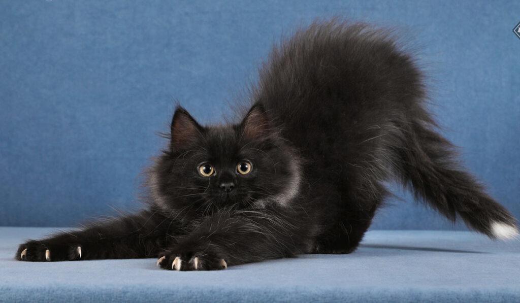 Сибирская черная кошка фото