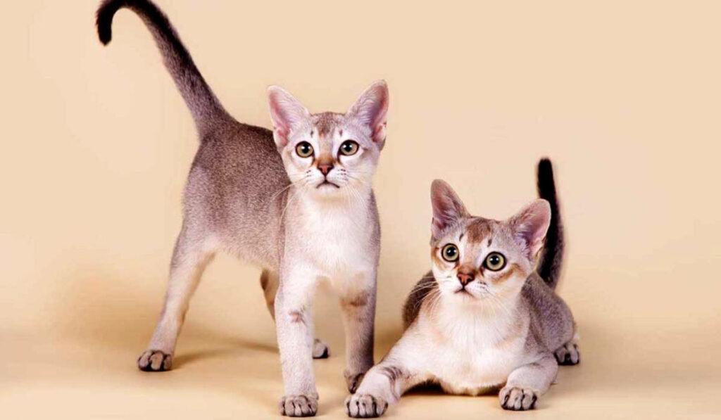 Сингапурская кошка фото описание породы