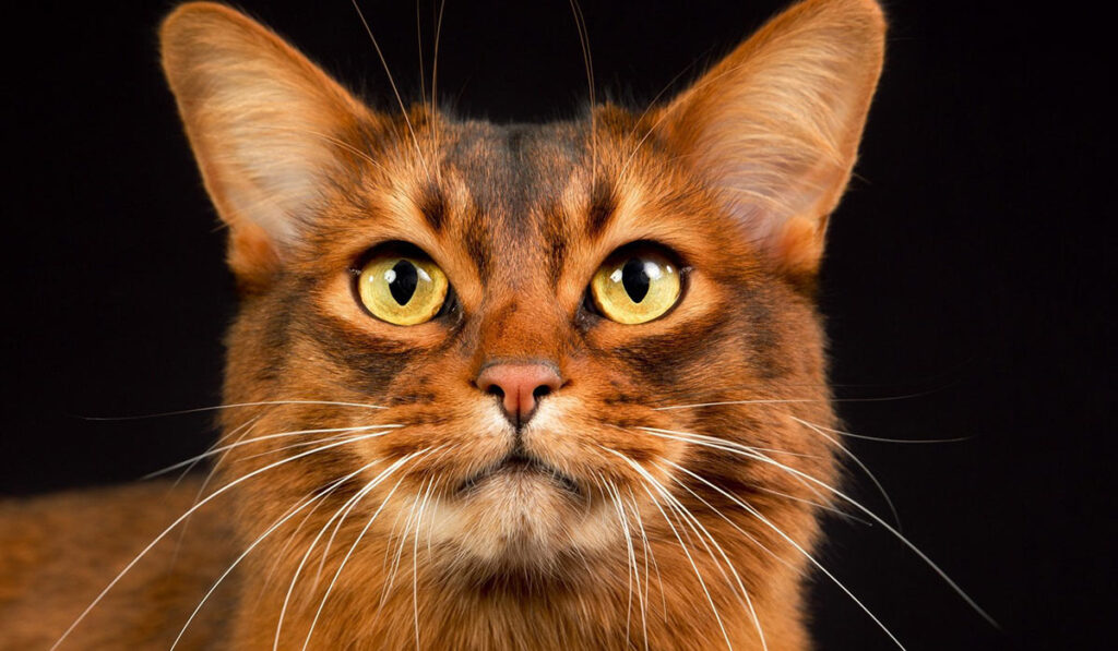 Сомалийская кошка фото