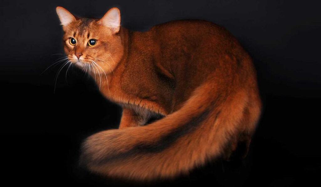 Сомалийская кошка фото описание