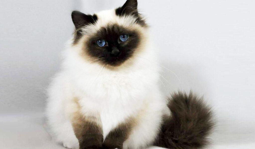 Священная бирманская кошка фото