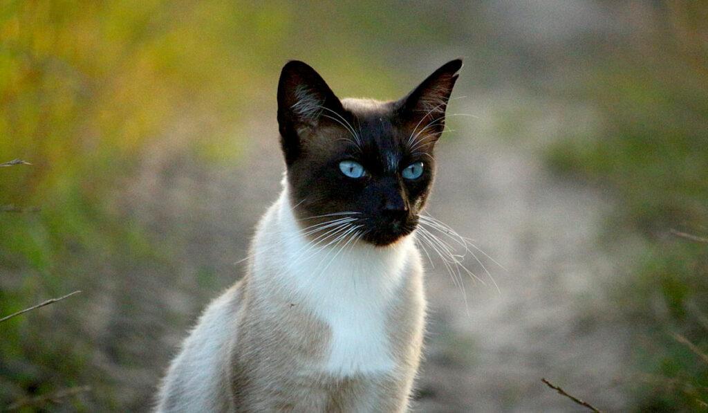 Тайская кошка фото описание