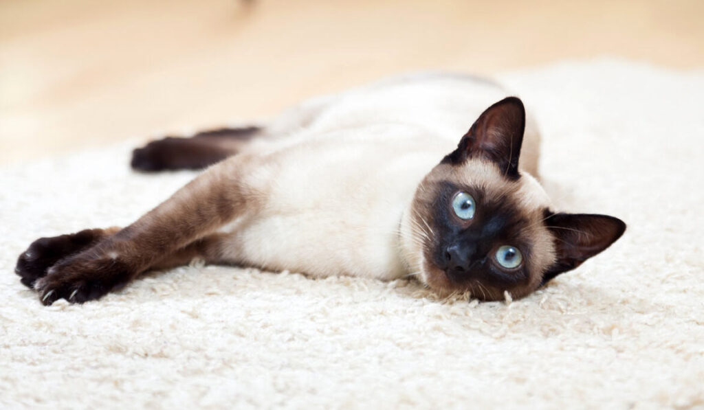 Тайская кошка характер фото