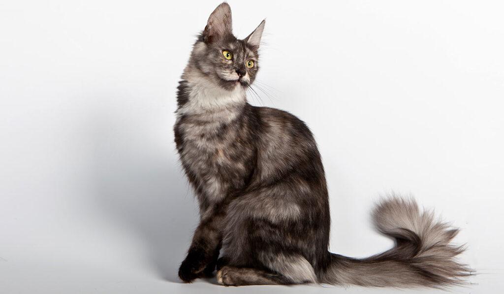 Турецкая ангорская кошка фото